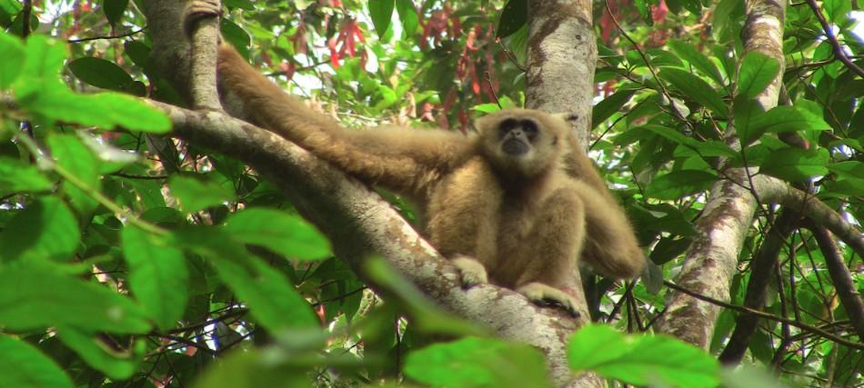 Thajsko Gibbon