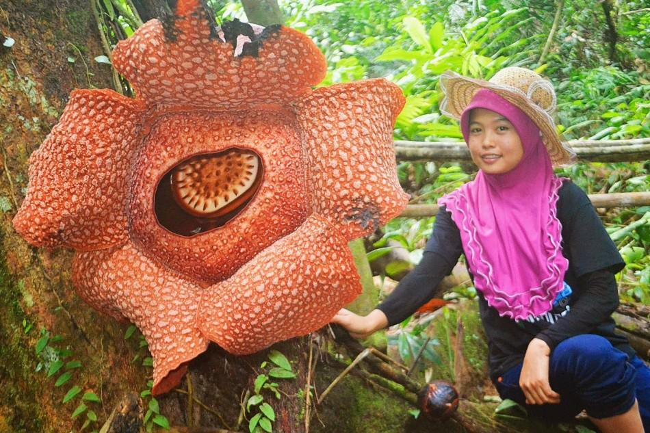 Rafflesia thajsko